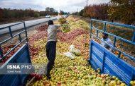 افت ۸۰ درصدی صادرات سیب چرا سیب روی دست ایران ماند؟